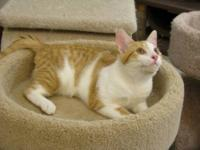 Domestic Short Hair - Orange and white - Zach - Medium