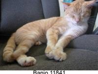 Domestic Short Hair - Orange - Banjo 11841 - Medium -
