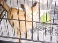 Domestic Short Hair - Orange - Big Red - Small - Adult
