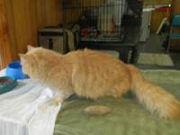 Domestic Short Hair - Orange - Bob - Small - Adult -