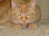 Domestic Short Hair - Orange - Buck - Medium - Young -