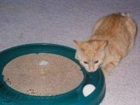 Domestic Short Hair - Orange - Buffy - Medium - Adult -