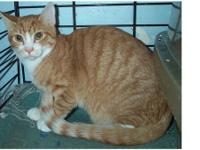 Domestic Short Hair - Orange - Chipper - Small - Young