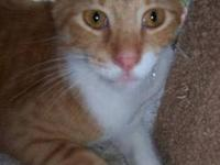 Domestic Short Hair - Orange - Dan - Medium - Adult -