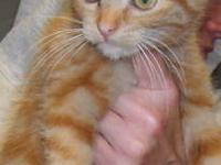 Domestic Short Hair - Orange - Elaine-ember - Small -