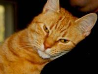 Domestic Short Hair - Orange - George - Medium - Young