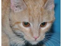 Domestic Short Hair - Orange - Georgie - Medium - Young