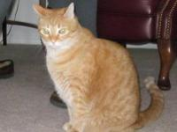 Domestic Short Hair - Orange - Ginger - Medium - Adult