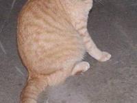 Domestic Short Hair - Orange - Hercules - Medium -