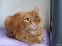 Domestic Short Hair - Orange - Honey Boy - Large -