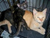 Domestic Short Hair - Orange - Justine - Medium - Adult