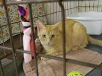 Domestic Short Hair - Orange - Leona - Medium - Adult -
