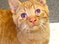 Domestic Short Hair - Orange - Marty - Medium - Young -