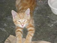 Domestic Short Hair - Orange - Maxamillion(max) - Large