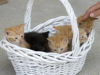 Domestic Short Hair - Orange - Orange Kitten #1 -