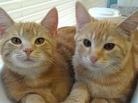 Domestic Short Hair - Orange - Otis - Large - Baby -