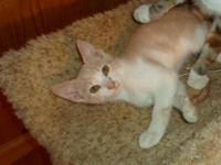 Domestic Short Hair - Orange - Prince - Small - Young -
