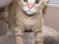 Domestic Short Hair - Orange - Raleigh - Small - Baby -
