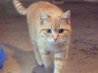 Domestic Short Hair - Orange - Reba - Medium - Young -