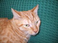 Domestic Short Hair - Orange - Sandy - Medium - Adult -