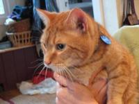 Domestic Short Hair - Orange - Sonny - Extra Large -