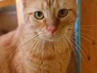Domestic Short Hair - Orange - Sonny - Medium - Young -