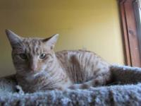 Domestic Short Hair - Orange - Tommy - Medium - Young -