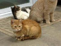 Domestic Short Hair - Orange - Uhura - Small - Baby -