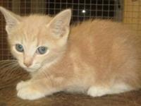 Domestic Short Hair - Orange - Winslow - Medium - Young