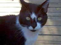 Domestic Short Hair - Oreo - Medium - Young - Female -