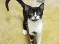 Domestic Short Hair - Oreo - Small - Baby - Male - Cat