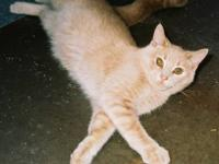 Domestic Short Hair - Oscar - Medium - Adult - Male -