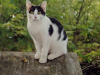 Domestic Short Hair - Osito - Medium - Adult - Male -