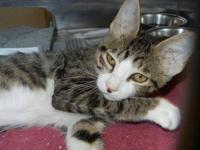 Domestic Short Hair - Othello - Small - Young - Male -