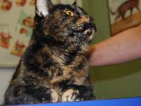 Domestic Short Hair - Paloma - Medium - Adult - Female