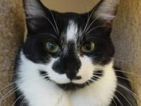 Domestic Short Hair - Panda - Medium - Young - Male -