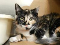 Domestic Short Hair - Papaya - Medium - Baby - Female -