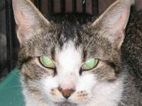 Domestic Short Hair - Patches - Small - Adult - Female