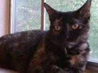 Domestic Short Hair - Patty - Medium - Young - Female -