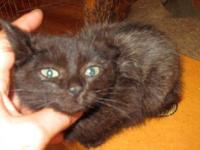 Domestic Short Hair - Paula - Medium - Baby - Female -