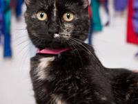 Domestic Short Hair - Paulianna - Petco - Medium -