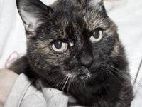 Domestic Short Hair - Pear Fiv+ - Small - Adult -