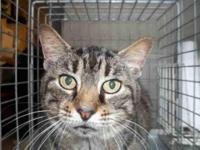 Domestic Short Hair - Pearl - Large - Adult - Female -