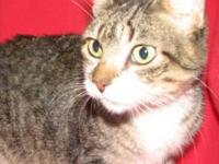 Domestic Short Hair - Pebbles - Medium - Baby - Female