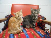 Domestic Short Hair - Pee Wee & Pedro - Medium - Baby -