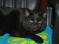 Domestic Short Hair - Penelope - Large - Adult - Female