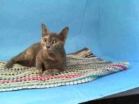 Domestic Short Hair - Penny - Large - Young - Female -