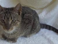 Domestic Short Hair - Pepper - Small - Baby - Female -