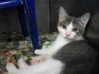 Domestic Short Hair - Pete - Medium - Baby - Male -