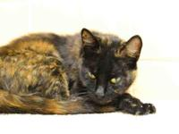 Domestic Short Hair - Petrie - Medium - Young - Female